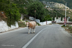 slow vehicle on the road (filipe mota rebelo | 400.000 views! thank you) Tags: road vacation canon cow europe balkans albania 2014 balcans fmr 5dmarkii filipemotarebelo
