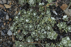 """Alpine Ground Cover • <a style=""""font-size:0.8em;"""" href=""""http://www.flickr.com/photos/63501323@N07/14862324978/"""" target=""""_blank"""">View on Flickr</a>"""