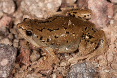 Great Plains Narrow-mouthed Toad, Gastrophryne olivacea (socalrattler) Tags: arizona desert amphibian toad greatplainsnarrowmouthtoad gastrophryneolivacea greatplainsnarrowmouthedtoad kevinpriceimages