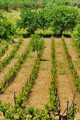 Grèce Péloponnèse Néméa 31 les vignes (paspog) Tags: vines wine greece vineyards griechenland grèce vins wein péloponnèse viges néméa