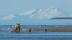 Family Outing  3408 (Dr DAD (Daniel A D'Auria MD)) Tags: nature alaska wildlife bears brownbears wildlifephotography bearcubs coastalbrownbear august2012 bearsofalaska drdadbookcom danieladauriamd childrenswildlifebooksbydanieladauriamd