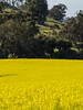 conola (odycay) Tags: tree yellow bush farm country hill great sunny australia southern western land em5 conola