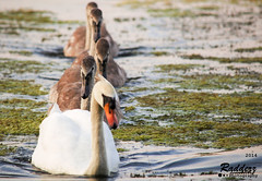 Family Outing (paul.radwell) Tags: family lake lens swan nikon wildlife swans signet signets d3200 55300mm