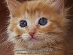 Athena (Zeus & Phoebe youtube.com/utahactor) Tags: pink cute female nose mackerel ginger eyes kitten tabby whiskers gata spotted athena rare striped