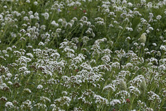 "Sitka Valerian • <a style=""font-size:0.8em;"" href=""http://www.flickr.com/photos/63501323@N07/15045896571/"" target=""_blank"">View on Flickr</a>"
