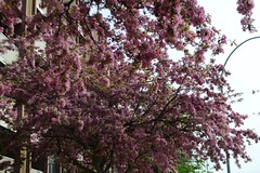 Gorgeous Tree (Vegan Butterfly) Tags: city pink flowers urban ontario tree nature bay thunder