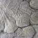 Uintacrinus socialis (fossil crinoids in chalk) (Niobrara Formation, Upper Cretaceous; western Kansas, USA) 5