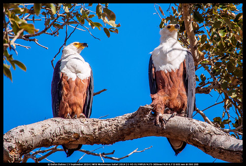 Fish eagle pair (Chobe)