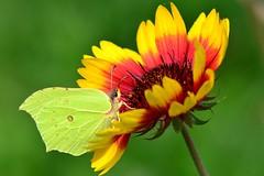 DSC_1037 (sylvette.T) Tags: flower nature fleur papillon insecte 2014 nikond5100 objectif70200sigma