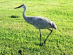 Sandhill Cranes (Jim Mullhaupt) Tags: bird nature grass big nikon flickr florida crane wildlife gray redhead golfcourse coolpix bradenton fearless sandhillcrane wader manateecounty p510 mullhaupt jimmullhaupt