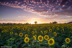 sun(set) Flowers (Blamilton.Photography) Tags: flowers sunset sky field clouds landscape lawrence sunflowers kansas farms grinter
