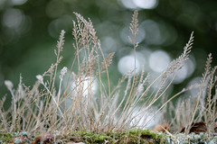 Top of the wall (pauldbrown) Tags: wall bokeh isleofwight grasses lichen iow appuldurcombe
