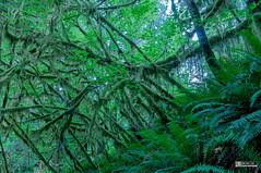Quinault Rainforest (weberpal) Tags: usa nature washington nationalpark nikon rainforest sigma washingtonstate olympicnationalpark foret forêt quinault 2014 etatsunis étatsunis olympicnationalforest jeffersoncounty quinaultrainforest graysharborcounty forêthumide d300s valleyoftherainforestgiants