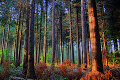 The colours of the forest 1 (Neal J.Wilson) Tags: autumn trees nature colors denmark woods nikon colours scandinavia 3200 forests pinetrees furtrees