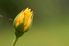 Yellow Rosebud (AmbitiousJam) Tags: flower floral rose yellow garden floralappreciation
