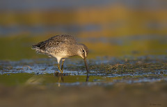 Long Billed Dowitcher (E_Rick1502) Tags: