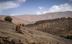 Duret de la pente (cafard cosmique) Tags: africa montagne photography photo foto image northafrica femme morocco maroc atlas maghreb marruecos marokko marrocos afrique afriquedunord  labeur aitbougmez ibakliwine lempreintedesdinosauresibakliwine