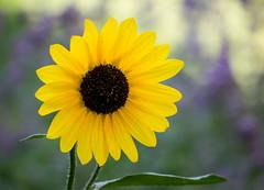 Portrait of a Sunflower (Pauline Brock) Tags: flower nature floral yellow bokeh sunflower flickrfriday