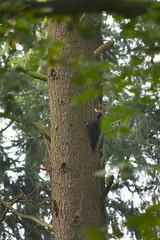 Zwarte specht / Black woodpecker / Dryocopus martius (heidiii78) Tags: vogels