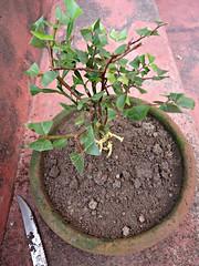 Mix de Jabuticaba Goiaba Mixirica (6) (jemaambiental) Tags: mamadeira jabuticaba bonsais goiaba mixirica prébonsais bonsaístas preparaçãodebonsais mixdeespécies