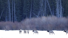 Elk, Vermillion Lakes, Banff National Park, Alberta Canada (renedrivers) Tags: rchan415 renedrivers winter banffnationalpark snow mountain
