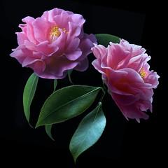 Camellia Duo (Explore) (Pixel Fusion) Tags: camellia flower flora nature macro nikon d600