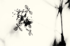 contemplated III........ (Brigitte Lorenz) Tags: flowers dry faded nature hydrangea bw monochrome
