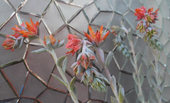Echeveria Runyonii  'Topsy Turvy' Flowers (Breeana_Shenae) Tags: echeveria echeveriarunyonii topsy topsyturvy succulent flowers macro canon