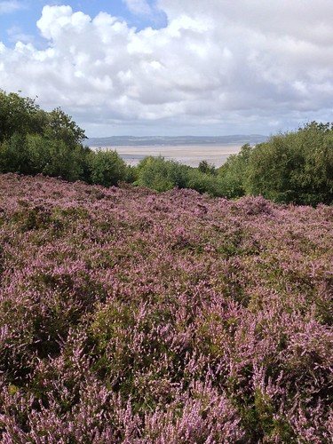 Heather above the Dee