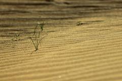 Beauty of life (Davide C.77) Tags: desert life leaf sand emirate unitedarabemirates