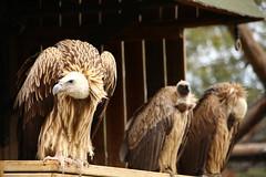 Buitre leonado en familia (PakoGONZO) Tags: gypsfulvus gyps fulvus buitre voltor condor canon 6d 70300 nature natureplus wild wildlife