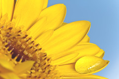 Yellow petal droplet. (Benjaminio) Tags: flower yellow petals plant garden water droplet drop n nature blue background