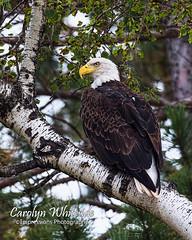 Bald Eagle on Birch Limb
