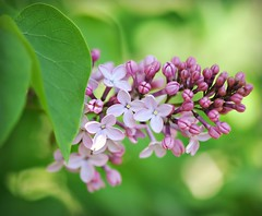A flower blossoms for its own joy.  Oscar Wilde (nushuz) Tags: pretty purple fragrant lilacs bokehlicious explorethanks lilactimeagain bloomedlatethisyear
