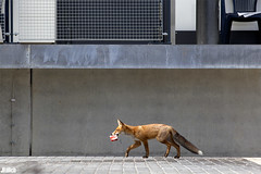 fox and cigarettes @ urban nature - Leipzig (Jan Rillich) Tags: city urban sun nature beauty animal fauna digital photography eos photo flora foto fotografie jan wildlife parking picture free sunny ground leipzig jungle fox urbannature parkplatz fuchs beton zigaretten zigarette vulpesvulpes concretejungle animalphotography vulpes beatutiful dhfk congretejungle wildcity unlimitedphotos janrillich rillich zigarettenconcrete
