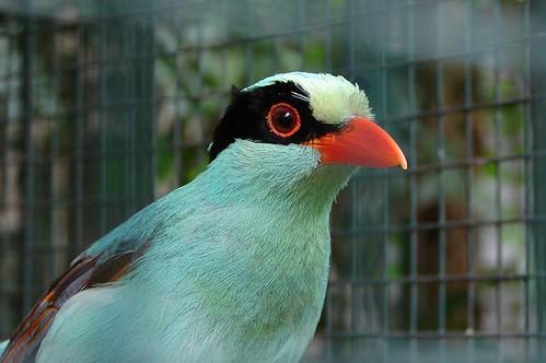 Captive bird in Phuket zoo (Common green magpie). Thailand. 2 photos