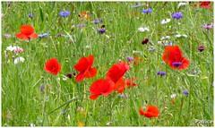 Coquelicots dans et fleurs des champs (patrice3879) Tags: rose hautes herbes coquelicots oeillets