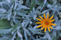 UK - Sissinghurst - yellow flower