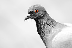 Colombo (Pigeon) (Giuseppe Oricchio) Tags: red blackandwhite bw white black monochrome animals blackwhite nikon pigeon 55300mm giuseppeoricchio