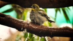 Bath (WelshPixie) Tags: bird birdbath capewhiteeye