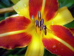 "Our garden . Daylily ""Frans Hals""! (Uhlenhorst - Sorry, need a longer break!) Tags: flowers plants germany bayern deutschland bavaria blossoms pflanzen blumen blten 2014 hennysgardens gardensb"