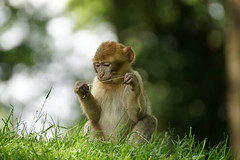 little monkey with a piece of chewing gum (pt.4) - Barbary Macaque - Berberaffe (okrakaro) Tags: nature animal juni germany zoo monkey little bokeh natur chewinggum kleiner affe rheine 2014 kaugummi barbarymacaque berberaffe