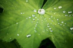 Water drops (Gondolin Girl) Tags: macro green nature water leaves closeup droplets leaf drops droplet waterdroplets