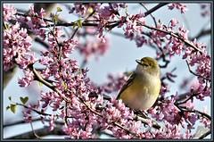 Sitting pretty (WanaM3) Tags: bird nature wildlife texasredbudtree redbud houston texas wanam3 sony a700 sonya700 avianexcellence sunrays5 vireo whiteeyedvireo