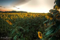 Valensole, FRANCE (Midotsuki) Tags: france beautiful field landscape photography photo nikon photographie champs lavender sunflower paysage hdr beau tournesol verdon d90 lavende valensole