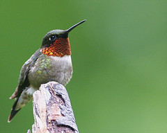 Ruby-throated Hummingbird-92 (Archilochus colubris) (egdc211) Tags: bird nature hummingbird aves birdwatcher rubythroatedhummingbird archilochuscolubris backyardbirding naturewatcher connecticutbird newenglandbird