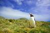 Gentoo penguin (Pygoscelis papua), Macquarie Island, Australia (by N. Murray)