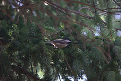 black-capped chickadee in a pine tree (beaumontpete) Tags: tree bird pine song chickadee blackcapped ipperwash poecile atricapillus