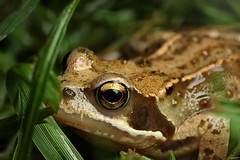 Frog in the grass (Lord V) Tags: macro amphibian frog