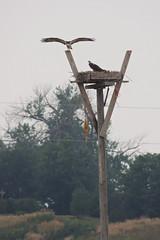 Osprey (Boulder Flying Circus Birders) Tags: osprey pandionhaliaetus birdwalk lagermanreservoir stevefrye wildbirdcenterboulder ospreyboulder ospreycolorado wildbirdboulder wildbirdcolorado ospreybouldercounty
